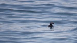 baleines nouveau-brunswick
